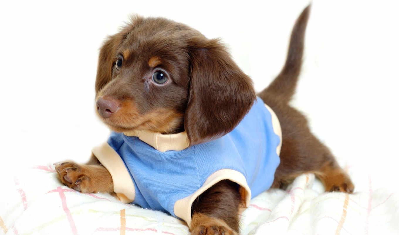 dachshund, собака, собак, породы, собаки, животных, online, котов, щенок, пазлы, collect,