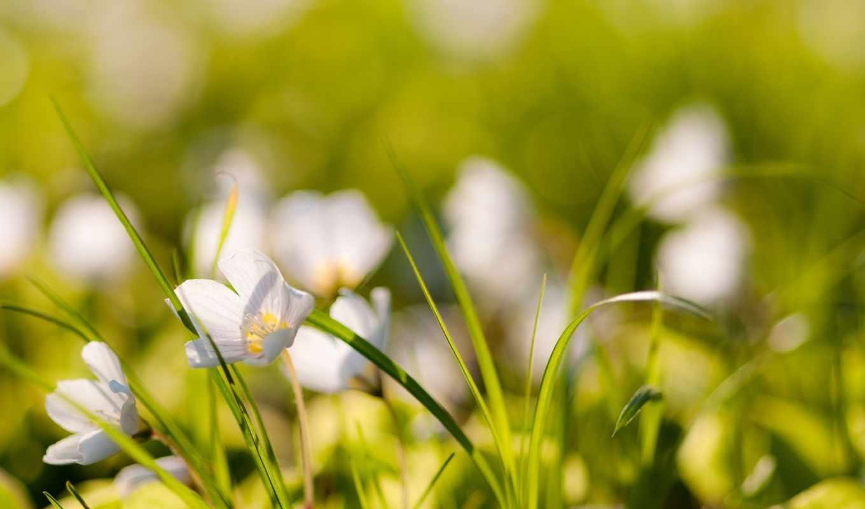 белые, цвета, цветы, тюльпаны,