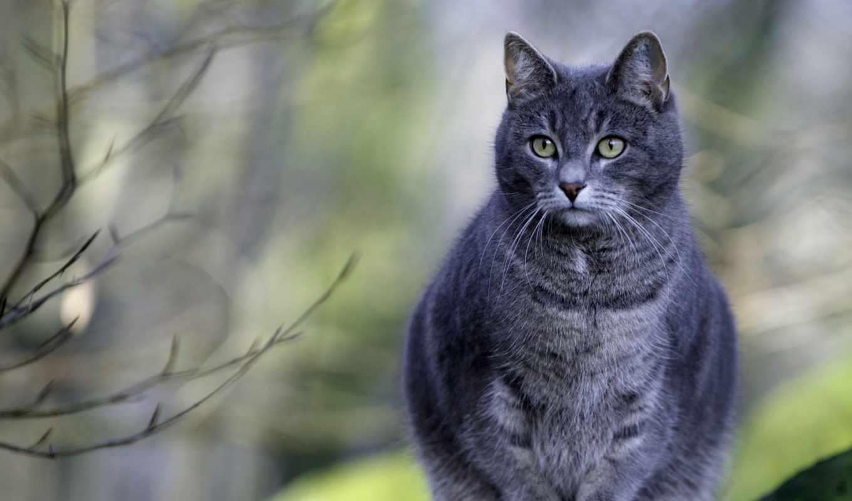 кот, сидит, серая, кошек,