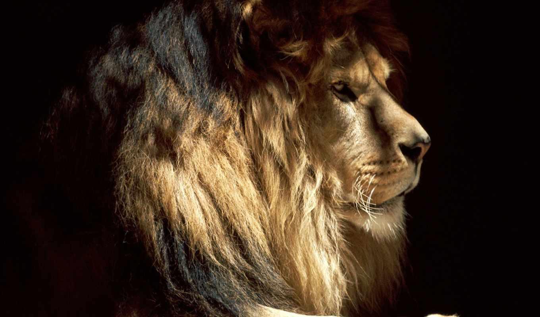 lion, zhivotnye, тени, золотистый, зверей, king,