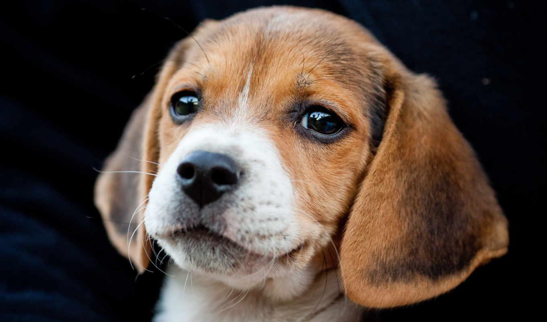 beagle, щенок, породы, бигля, собаки, купить, щенка, собак, щенки, собака,