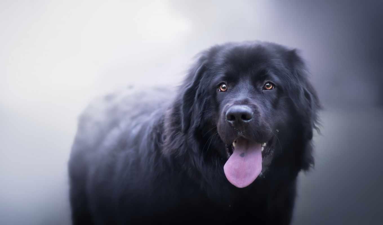 собака, anime, animals, loading, язык, black, фон,