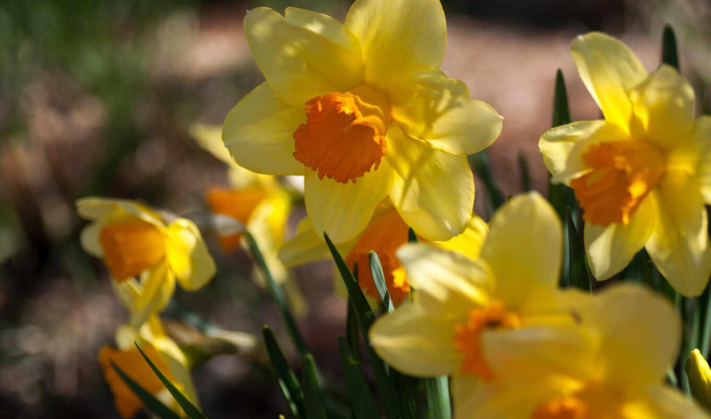 нарциссы, цветы, разных, желтые, разрешениях,