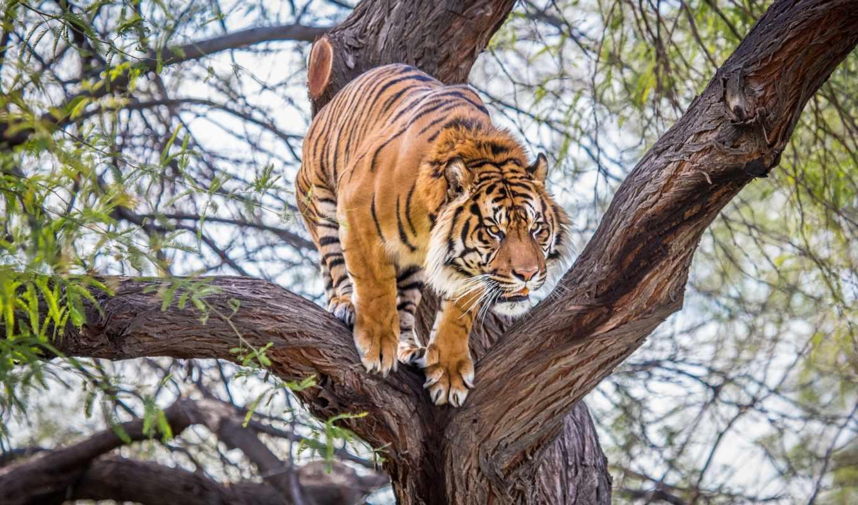 тигр, коллекция, тигры,