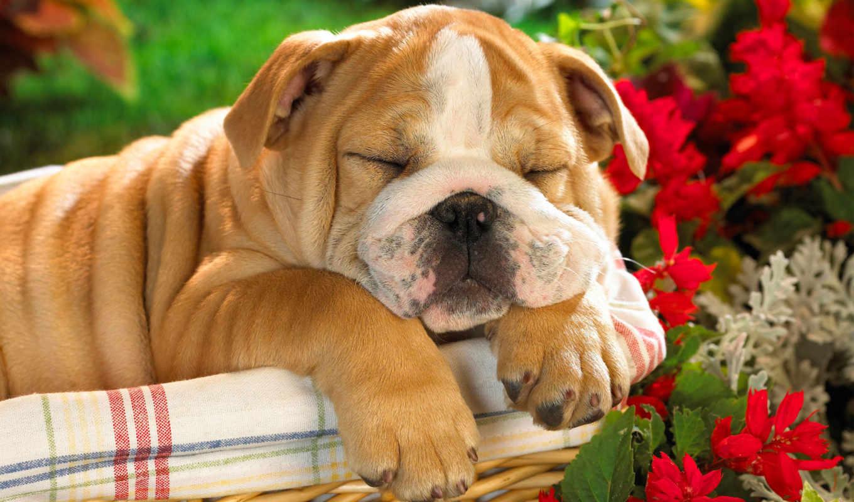 собаки, собака, щенок, щенки, english, bulldog,