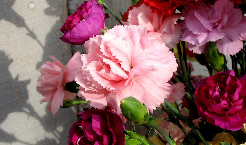 carnation,