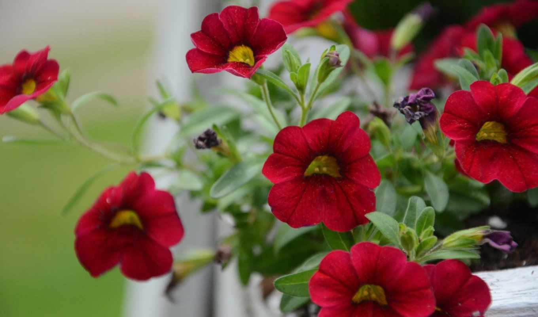 подборка, страница, качества, flowers, petunia, maintenance, хорошего, петуньи,