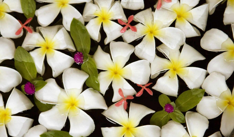 wallpapers, wallpaper, hd, desktop, скачать, картинка, download, water, nature, flowers, flores, thailand, fotografii, frangipani,