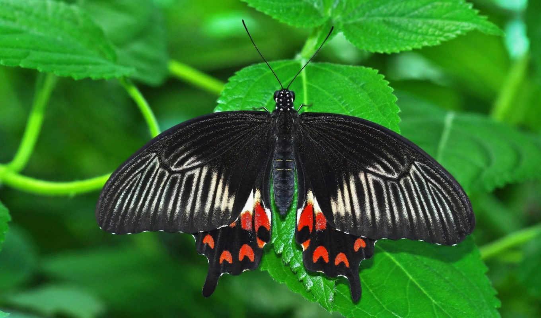 бабочка, насекомое, лист, картинка, вертикали, горизонтали, имеет,