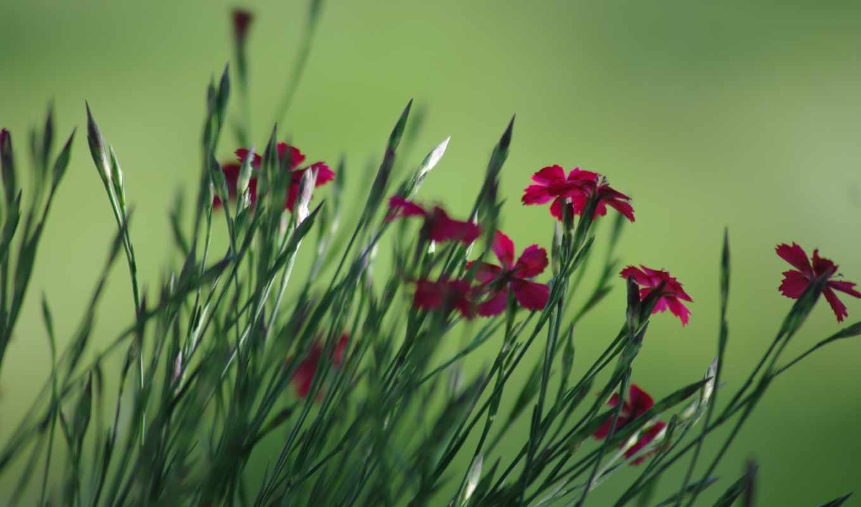 гвоздики, цветы,