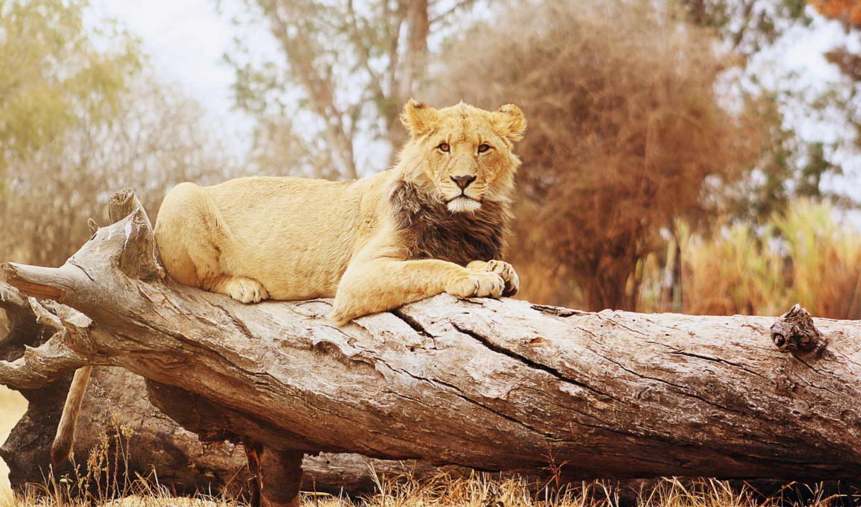 lion, лежит, изображение, дереве, картинка, огромной, фотографий, картинок, коллекции, понравились, львы,