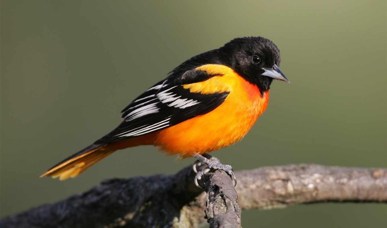 птица, певчая, разгадывание, сканвордов, кроссвордиста, определению, кроссворд, маске, помощница, online, словарь,