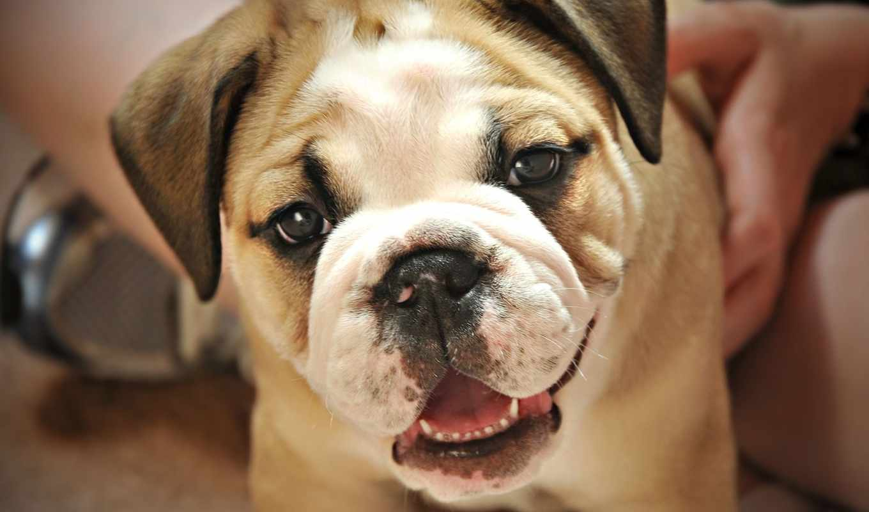 щенок, english, бульдога, bulldog, английского, близко, своей, щенки, small, хозяйкой,