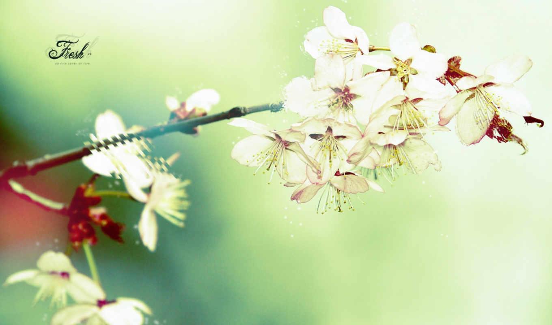cherry, цветущая, цветы, branch, Сакура,
