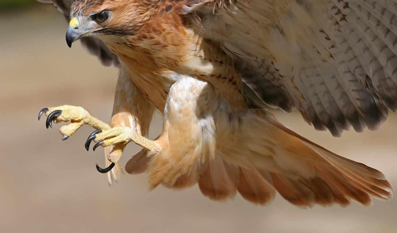 птица, птицы, hawk, вопрос, animales, los,