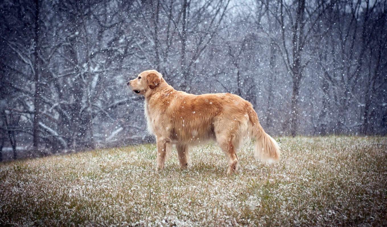 retriever, золотистый, снег, собака,