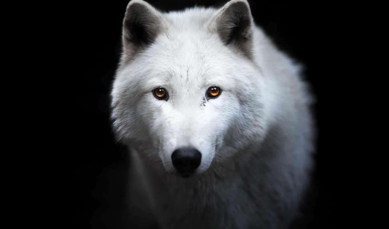 волк, black, white, взгляд, морда, фон, animal