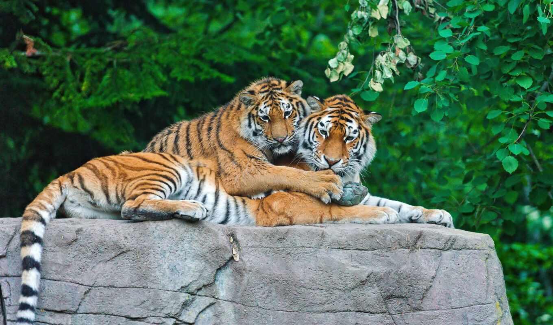 тигр, тигренок, камень, семья, тигры, животные, камне, картинка,