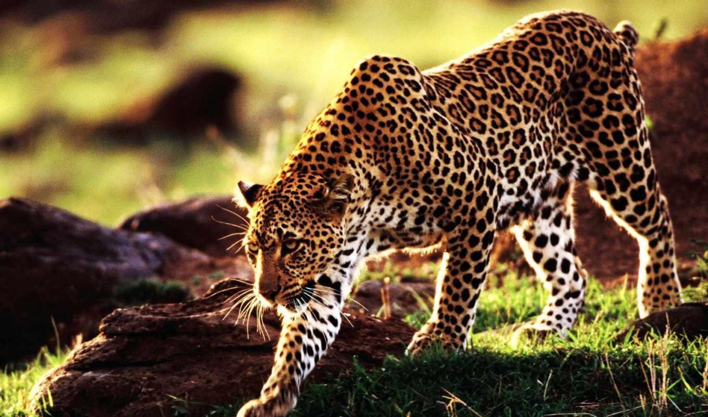 гепард, zhivotnye, favourite,
