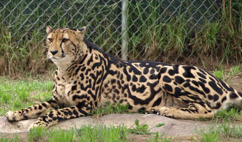 гепард, royal, кот,