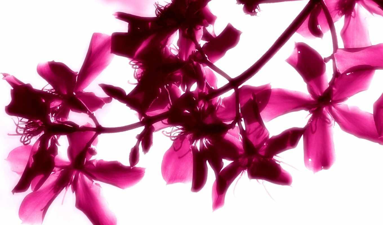 цветы, белом, flowers, розовые, fone, яркий, бесплатные, дневник, красивые,