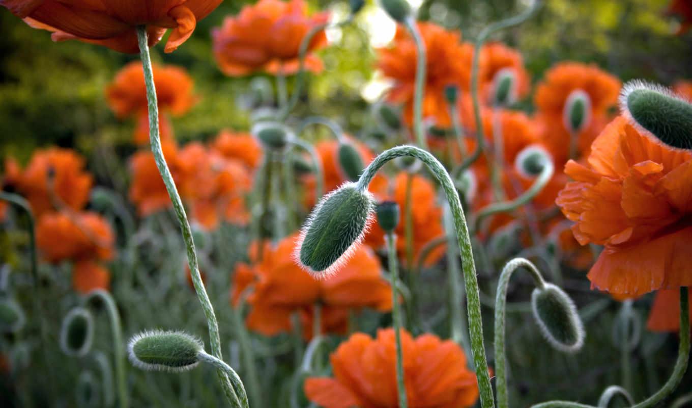 обои, маки, цветы, красивые, поле, обоев, фон, вес