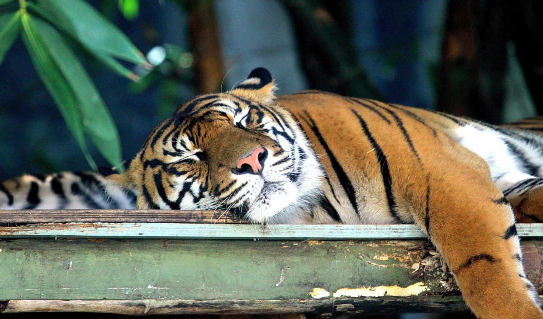 тигры, балла,