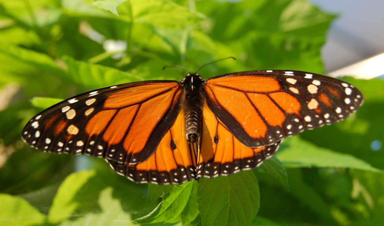 бабочка, листва, лето, монарх, мотылек, drugelis, картинка, ekrano,