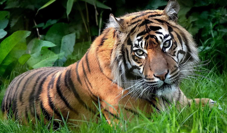 тигр, трава, zhivotnye,