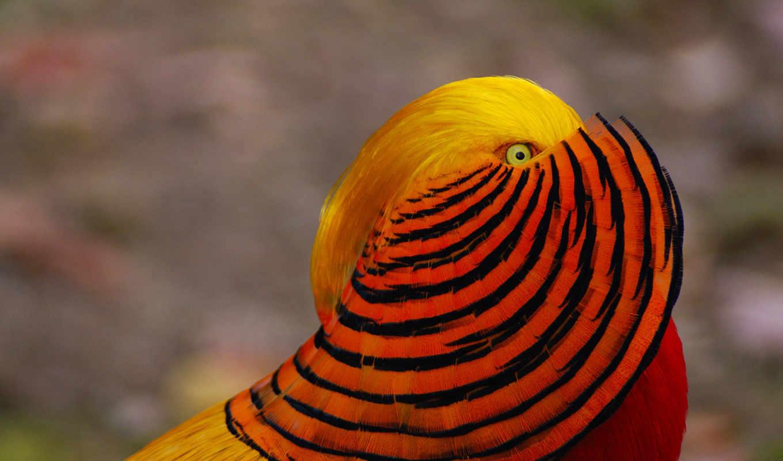 золотистый, pheasant, птица, китаянка, feathers, краска,