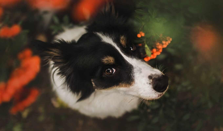 собака, порода, смотреть, группа, ягода, border