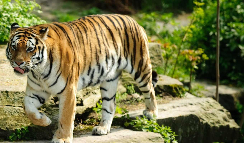 tiger, animal, fondos, tuyệt, bạn, đẹp,