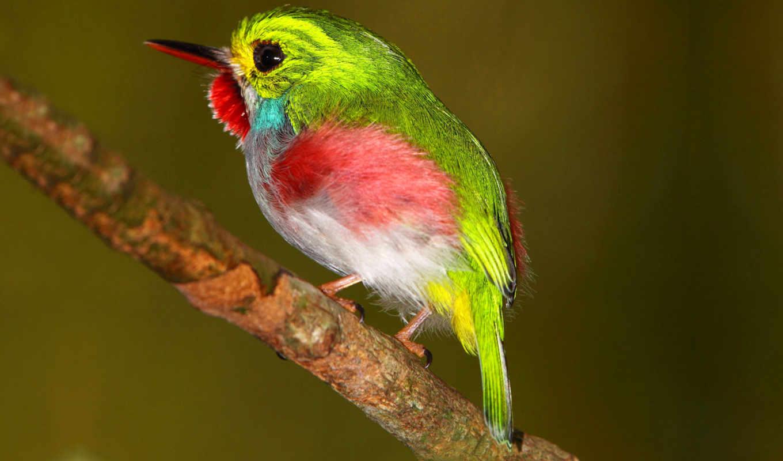 самых, птиц, переливается, cuba, одна, цветами, кубинский, тоди, красочное, солнце, всеми, играет, оперенье, его, симпатичных, мире, birding,