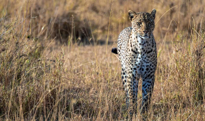 леопарды, африка, саванна, daily, леопард, природа,