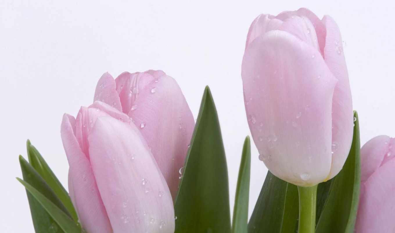 тюльпаны, розовые,