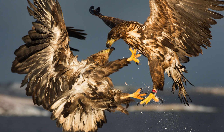 птицы, отличном, качестве, aquila, высоком, разрешений, картинка, zhivotnye, chrysaetos,