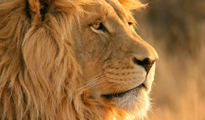 льва, lion, добавить, избранные, подразделы, аккаунт, разделы, нравится, using,