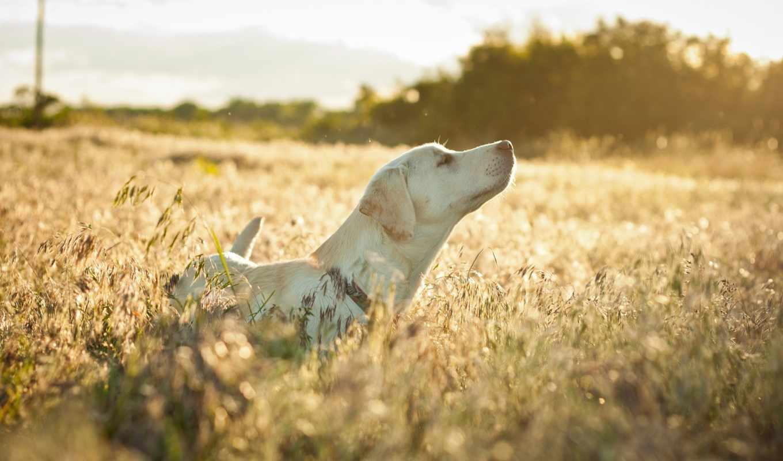 поле, собака, трава, настроение, сухая,