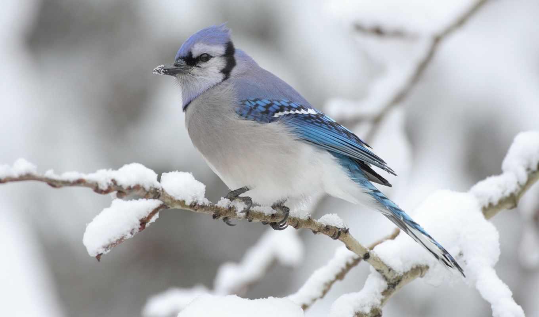 птицы, джей, голубая, красивые, winter, птица, птичка, снег, ветке, увеличить, кб,