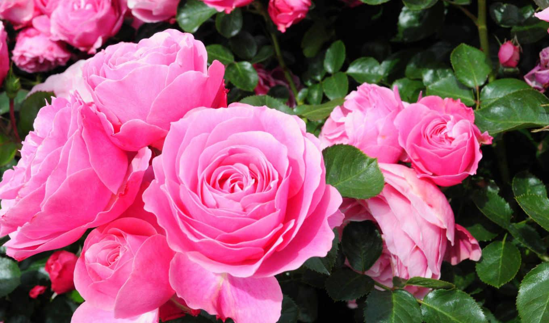 цветы, anh, hinh, dep, flowers, розовый, are,
