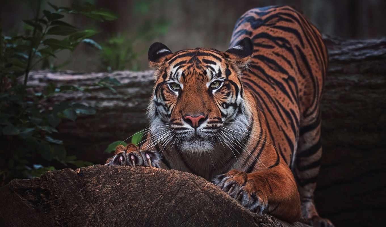 wild, кот, тигр, морда, взгляд, коллекция, телефон, dark