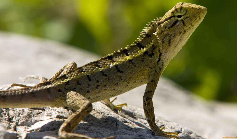ящерица, камень, зелёная, чешуя, рептилия,