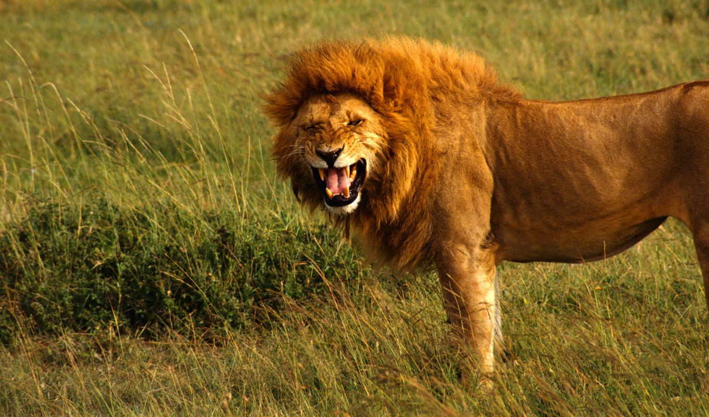 lion, king, рычит, грива, зубы,