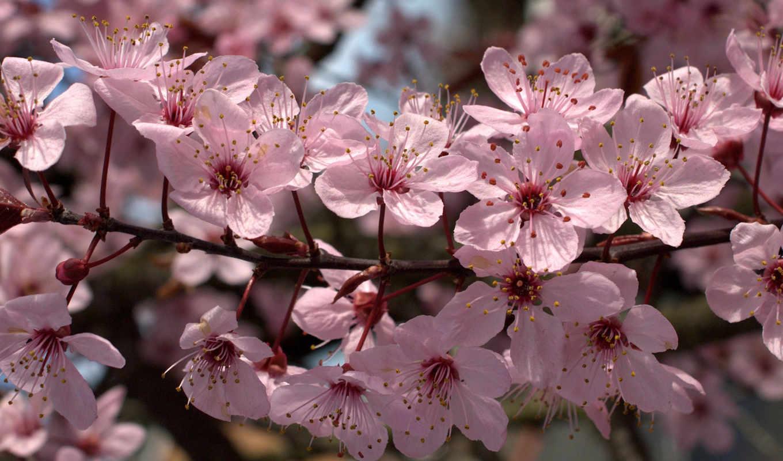 Сакура, owocowego, tapety, цветы,