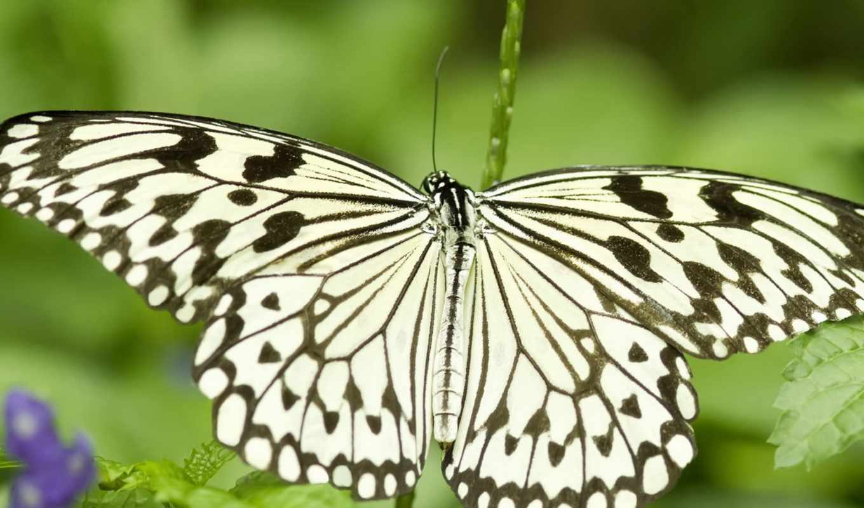 бабочка, insects, бабочка, butterflies, animals, насекомое,