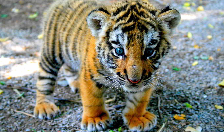 детёныш, zhivotnye, смотреть, тигренка,