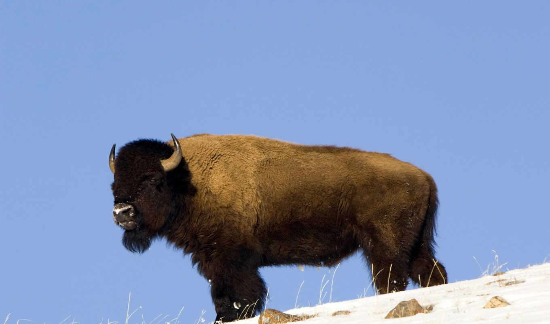 демон, bull, буква, качественные, под, быков, животных, бараны, быки, гора,