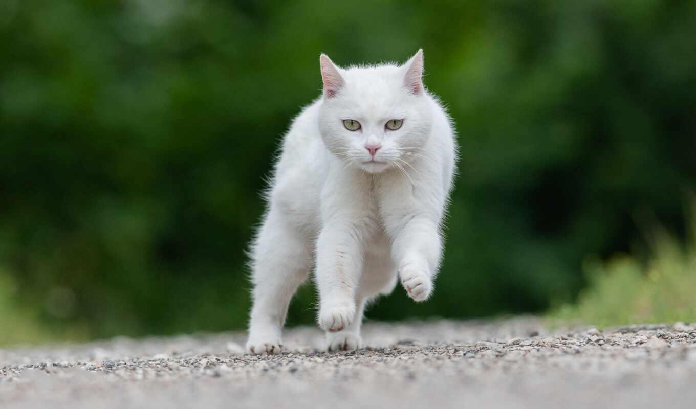 кот, бежать, ангорский, white, auer, дорогой, turkish, взгляд, narrow, animal