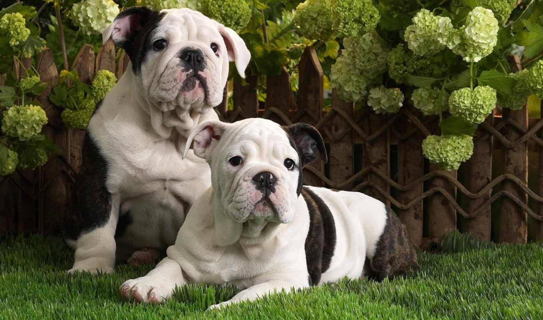 собаки, бульдог, щенки, английский, фото, жи,