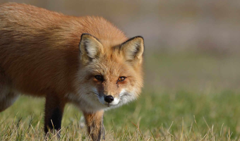 fox, pictures, марта,